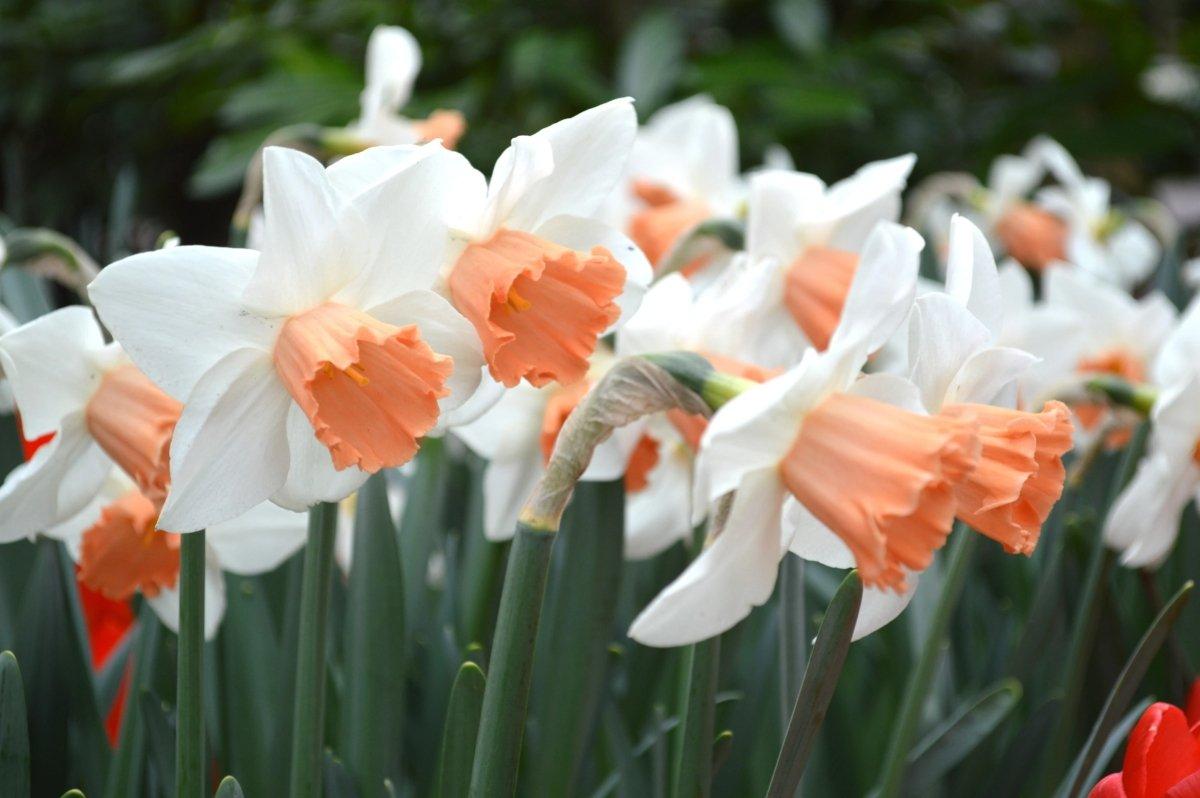 Narcissus-Accent-2