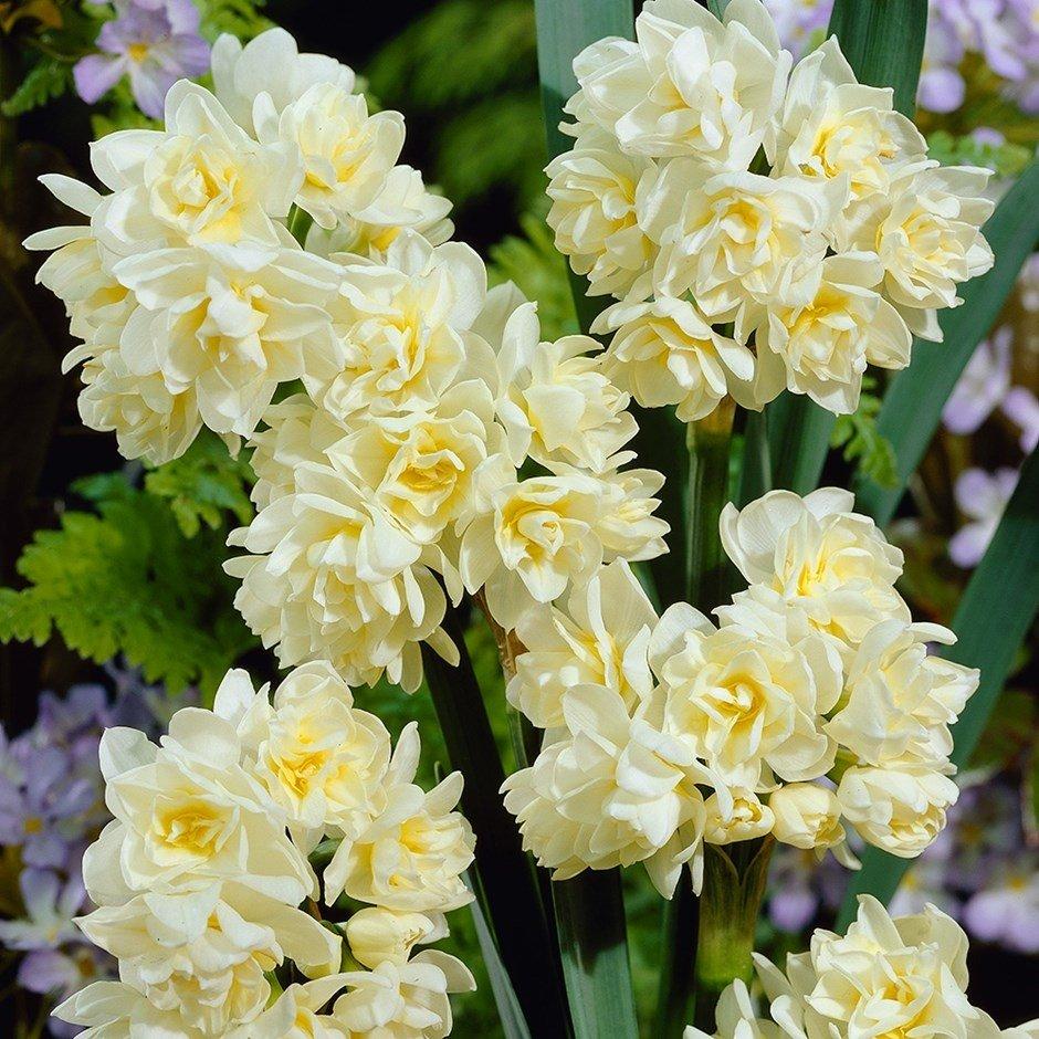 Narcissus-Erlicheer-1