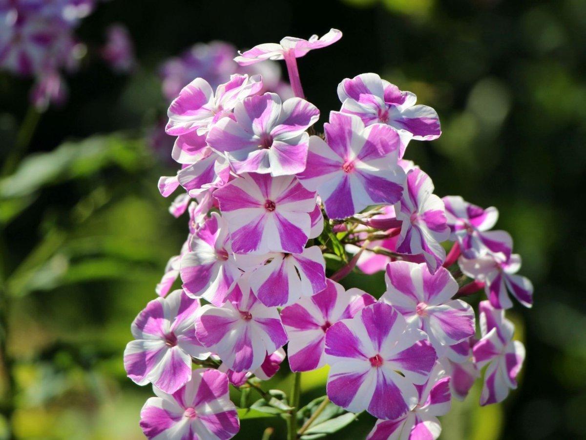 Phlox-paniculata-Candy-Twist-1_result