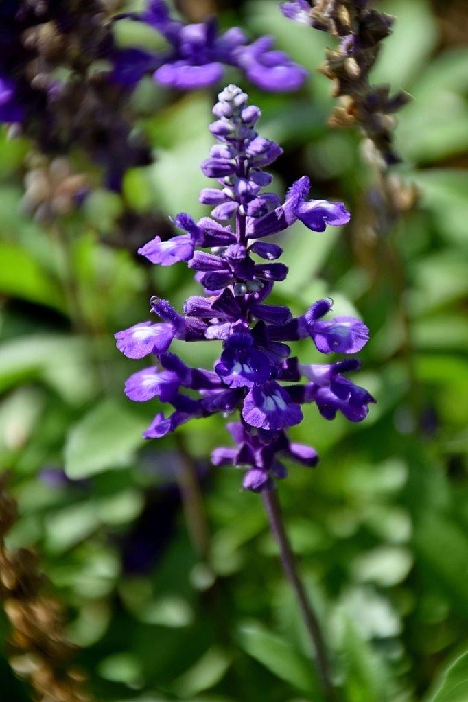 Salvia-farinacea-Evolution-Blue-2