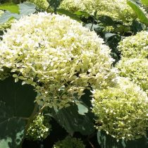 Гортензия «Лайм Рики» (Hydrangea 'Lime Rickey')