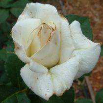 Поражение розы трипсами