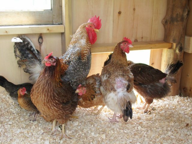 Чтобы у кур не было недостатка витамина D, при безвыгульном содержании нужно досвечивать птичник или хотя бы предусмотреть в нем окно