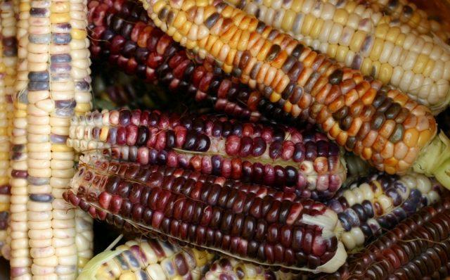 Если при совместной посадке пыльца фиолетовых сортов опылит желтую кукурузу, то при созревании початки оказываются пестрыми