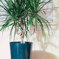 Драцена окаймленная (Dracaena marginata)