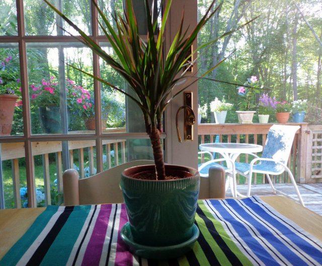 Драцена обожает проветривания, может проводить лето на балконе или в саду, украшать террасы и патио