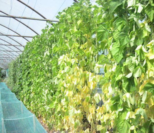 Кулисы тоже состоят из овощных культур, которые годятся в пищу