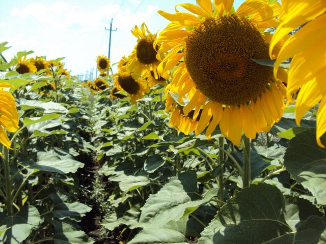 Кулисные культуры высевают или высаживают рассадой до посева или посадки защищаемых культур