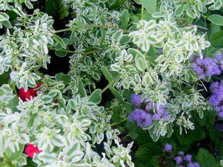 Молочай окаймленный (Euphorbia marginata) декоративный в течение всего периода роста