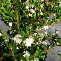 Мирт обыкновенный (Myrtus communis), сорт 'Flore Pleno'
