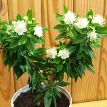 Мирт обыкновенный (Myrtus communis), сорт 'Boetica'