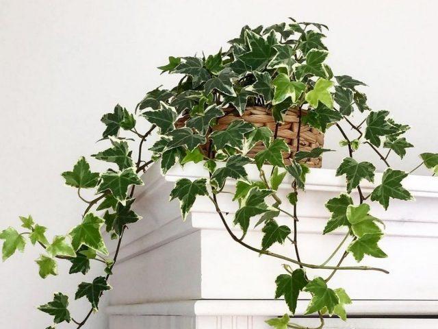 Комнатный плющ — классика вертикального озеленения помещений