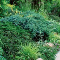Хвойные растения хорошо растут на кислых почвах