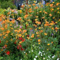 Гравилат (Geum) выручит любой цветник с кислой почвой, расположенный в холодной климатической зон