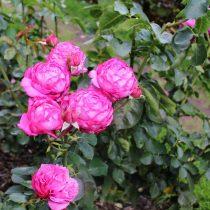 Розы (Rosa) хорошо растут на влажных слабокислых почвах