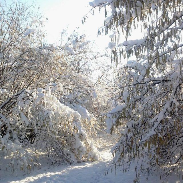 Цветущий фундук в снегу