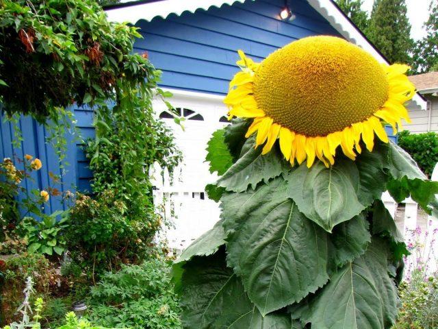 Необычные подсолнухи, или Как вырастить гигантский подсолнечник?