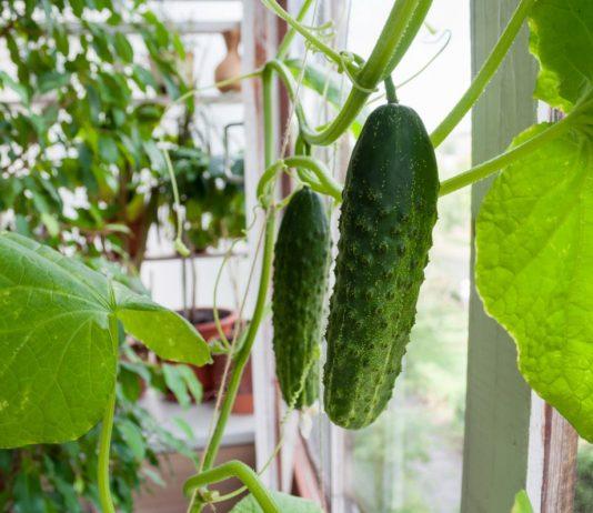 Огурцы на балконе — как добиться урожая?