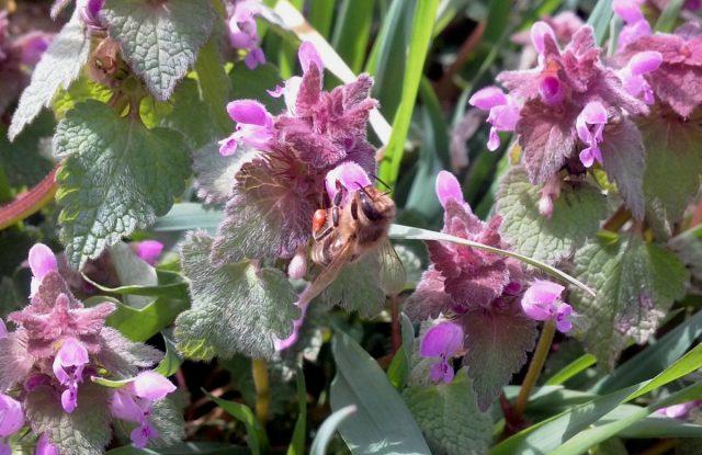 Большинство красивоцветущих весенних растений пчёлам не интересны, а вот над сорняковой ясноткой стоит гул и пчёлы со шмелями сидят чуть ли не на каждом цветке