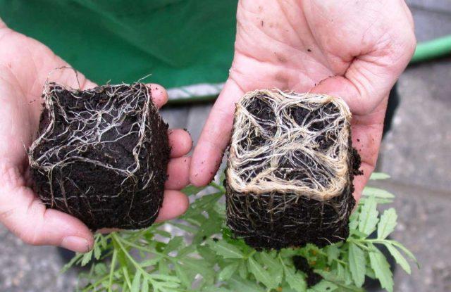 Развитие корневой системы с микоризой (справа) и без нее (слева)