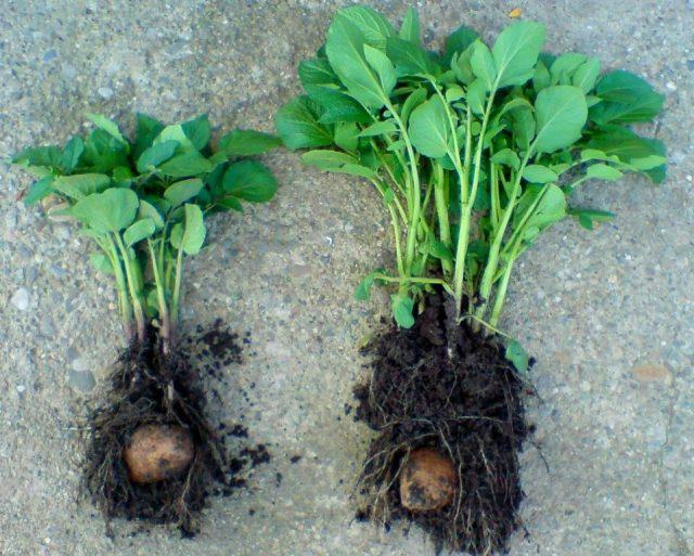 Картофель без микоризы и с ней