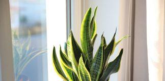 Сансевиерия — исключительно выносливое растение для украшения интерьера