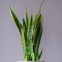 Сансевиерия трехполосая (Sansevieria trifasciata)