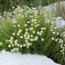 Сантолина перистая (Santolina pinnata)