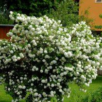Калина обыкновенная (Viburnum opulus) — знатная любительница кислых влажных грунтов