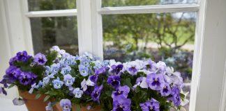Виола на балконе и в комнатах — преимущества и недостатки