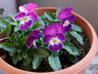 Фиалка Виттрока (Viola x wittrockiana)