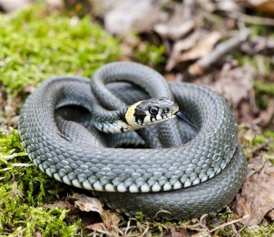 Змеи на участке — как распознать ядовитую и защитить себя от укуса?