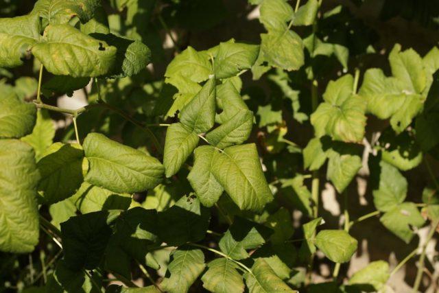 Проявление курчавости на листья малины