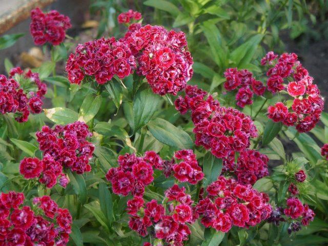 Гвоздика турецкая, или Барбатус (Dianthus barbatus)