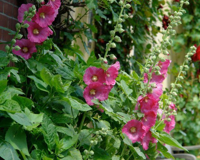 Мальва, или Шток-роза (Alcea)
