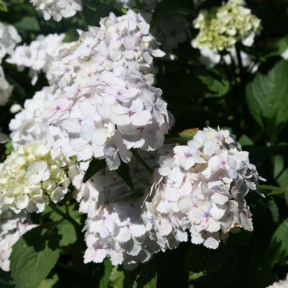 Hydrangea-macrophylla-Madame-Emile-Mouillere-1