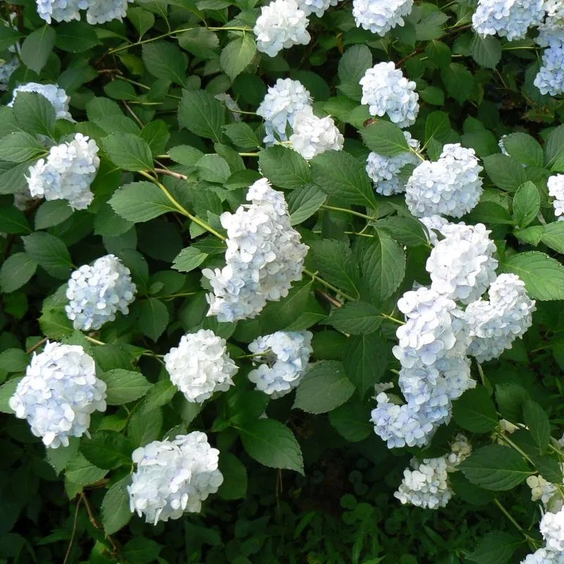 Hydrangea-macrophylla-Madame-Emile-Mouillere-2