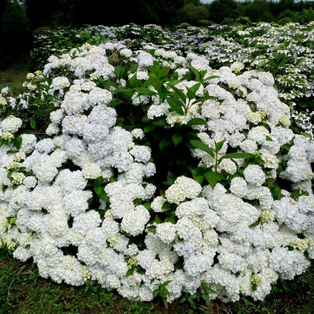 Hydrangea-macrophylla-Madame-Emile-Mouillere-4
