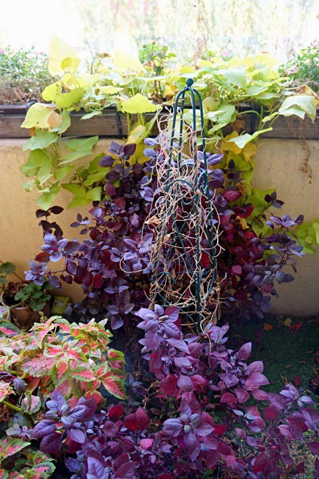Альтернантера радовала меня своей насыщенной листвой до глубокой осени, идеально сочетаясь со всеми цветочными обитателями балкона