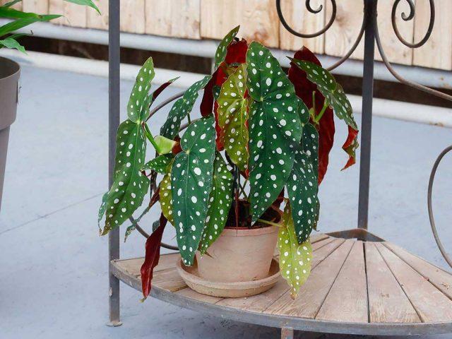 Бегония пятнистая — зеленые листья в белый горошек