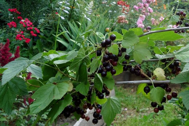 Июль — это массовый сбор ягоды