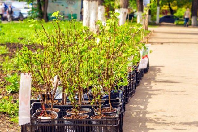 У контейнерный саженцев проблем при посадке намного меньше, чем у растений с открытой корневой системой
