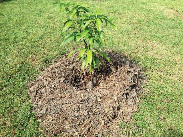 Поверхность земли вокруг растения в жарких и сухих регионах необходимо сразу замульчировать для сохранения влаги
