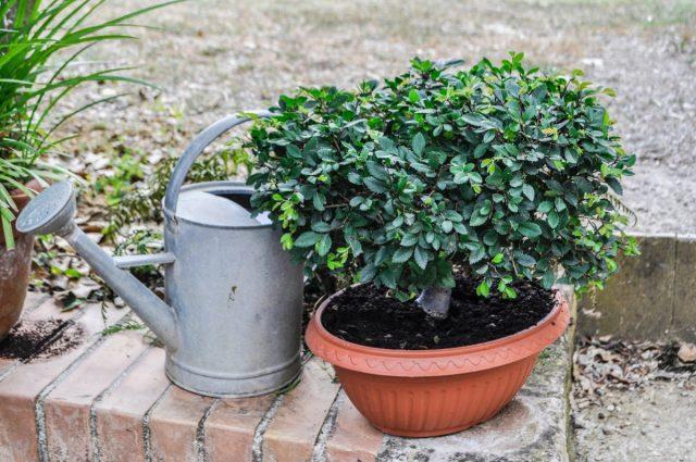 Поливы для комнатных растений в саду корректируют по осадкам и темпам просыхания почвы