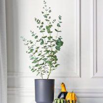 «Серебряный доллар», или Эвкалипт пепельный (Eucalyptus cinerea)