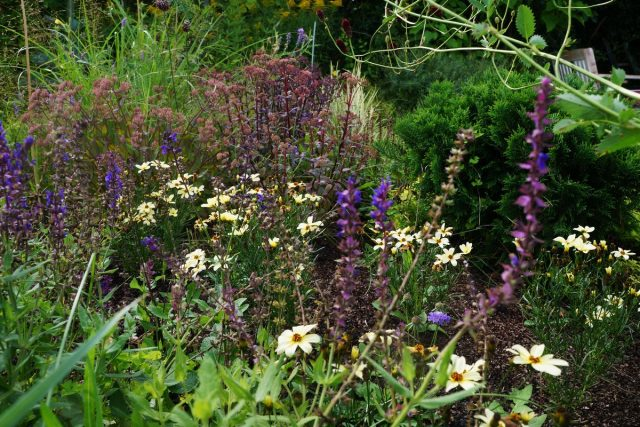 Среди многолетников лучшими соседями кореопсиса станут растения со стройными вертикальными соцветиями