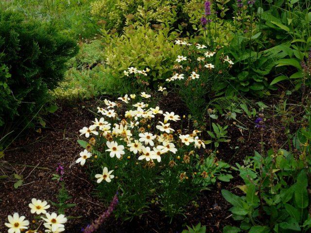 Кореопсис мутовчатый (Coreopsis verticillata) неприхотлив и легко выращивается на сухой и средней влажности почве при хорошем дренаже