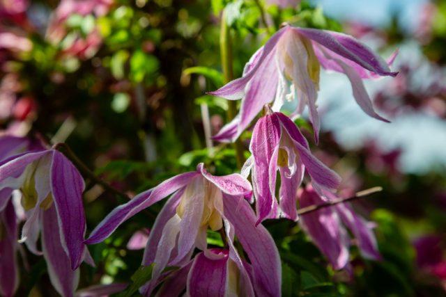 Лучшие сорта княжиков с голубыми, фиолетовыми, розовыми и белыми цветками
