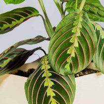 Маранта беложилковая (Maranta leuconeura), сорт 'Tricolor'