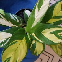 Маранта тростниковая (Maranta arundinacea)